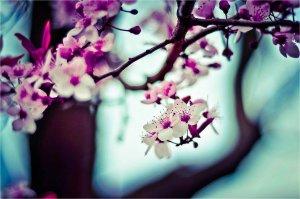 cseresznyefa